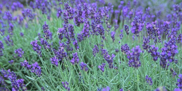 Lavandula Angustifolia…As Pleasant To Say As It Is To Experience